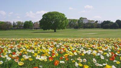 Zelkova tree and Poppy flower garden in Showa Memorial Park