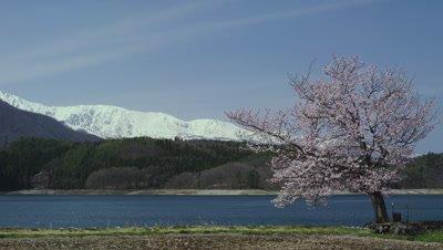 Lake Aoki and cherry blossoms with Hakuba mountain range in background