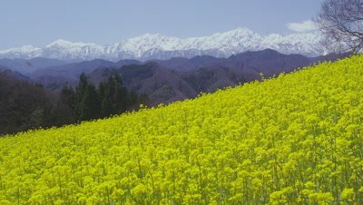 Rape flower field against the backdrop of Northern Japanese Alps