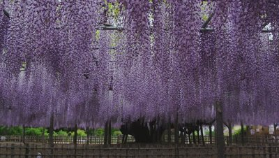 Japanese wisteria at Tamashiki Park
