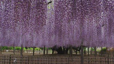 Japanese wisteria at Tamashiki Park