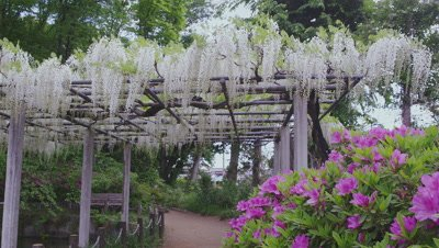 Japanese white wisteria and azalea at Tamashiki Park