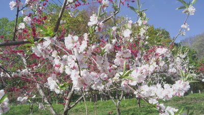 Peach blossoms at Iizaka Onsen Hanamomo-no-sato