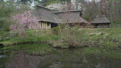 Weeping cherry blossoms and thatched house