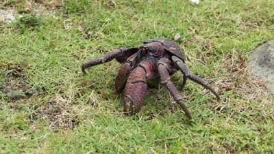 Coconut Crab, Orchid Island, Taitung County, Taiwan