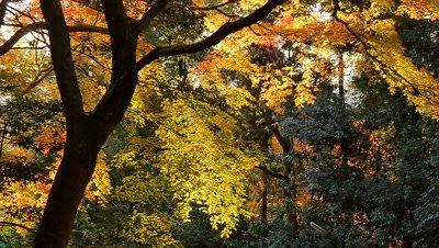 Autumn Trees in Maruyama Park, Kyoto, Japan