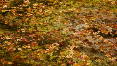 Autumn Leaves Flowing in the Water