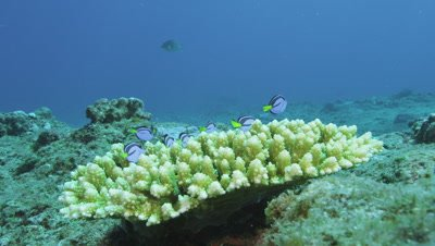 Palette surgeonfish hiding in coral