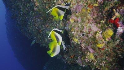 Masked Banner fish in Kume Island, Okinawa Prefecture, Japan