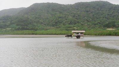 Water buffalo wagon in Iriomote Island, Okinawa Prefecture, Japan