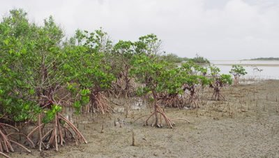 Mangrove forest in Iriomote Island, Okinawa Prefecture, Japan