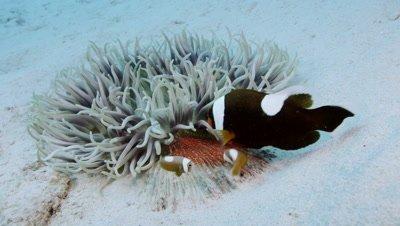White tipped anemone fish in Aka Island, Okinawa Prefecture, Japan