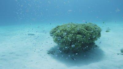 Blue green damselfishes herding at coral in Aka Island, Okinawa Prefecture, Japan
