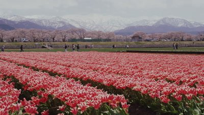 Tulips and cherry trees in Toyama Prefecture, Japan