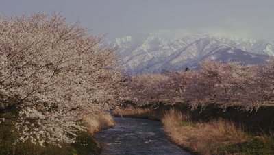 Cherry trees in Toyama Prefecture, Japan
