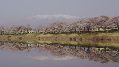 Cherry blossoms reflected on surface of Shiraishi River in Miyagi Prefecture, Japan