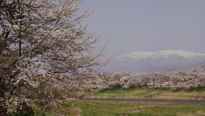 Cherry trees along Shiraishi River in Miyagi Prefecture, Japan