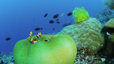 Clown anemonefishes swimming at Balicasag Island, Philippines