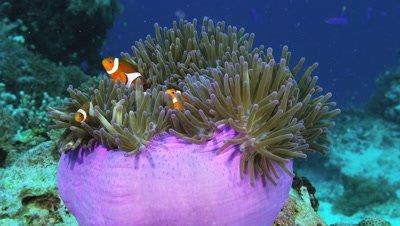 Clown anemonefishes swimming at Sumilon Island, Philippines