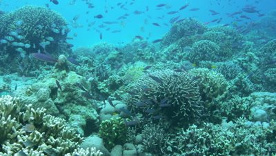 Tropical fishes and coral reef at Sumilon Island, Philippines