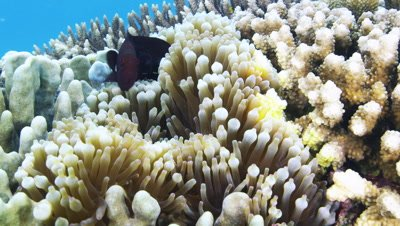 Spinecheek anemonefishes swimming at Sumilon Island, Philippines