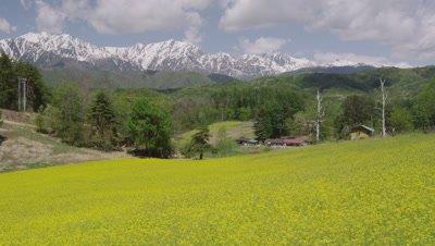 Hakuba mountains and mustard flowers in Japan