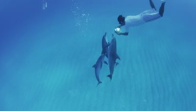 Atlantic spotted dolphins swimming in the Bahamas