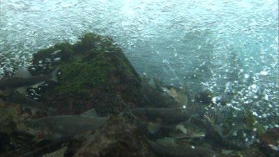 School of sweetfish gather to spawn in Kakita River
