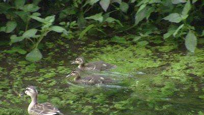 Spot-billed duck family swimming in Kakita River