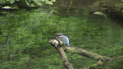 Kingfisher diving into Kakita River