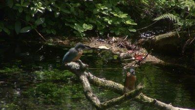 Kingfishers eating fish