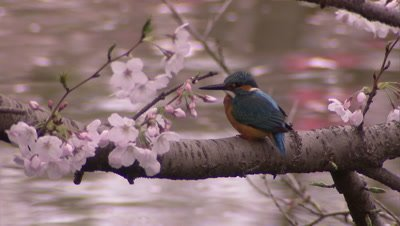Kingfisher perched on a cherry tree