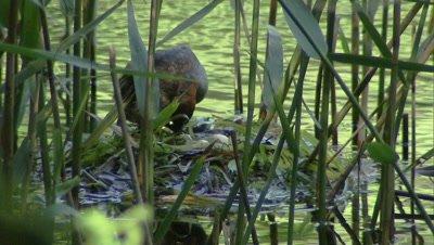 Little grebe incubating eggs