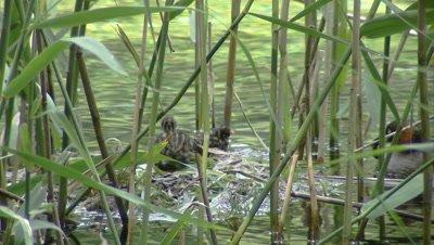 Little Grebe feeding chicks