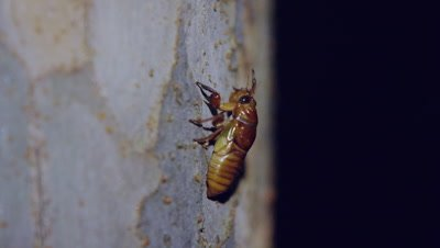 Large brown cicada larva
