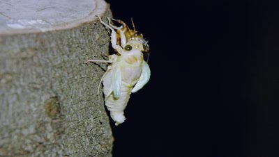 Large brown cicada emerging