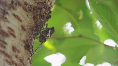 Male Japanese cicada
