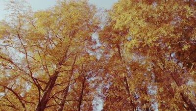 Dawn redwood forest in Mizumoto Park in autumn