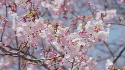 Cherry blossoms swinging with breeze