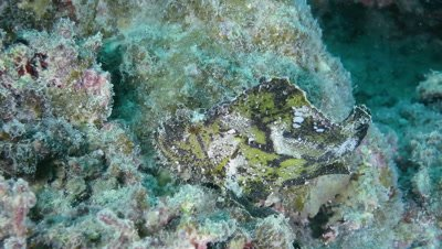 Leaf scorpion fish swimming