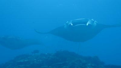 A pair of manta rays swimming in Ishigaki Island, Okinawa, Japan