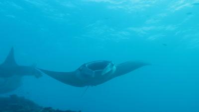 Manta rays swimming in Ishigaki Island, Okinawa, Japan
