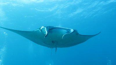 Manta ray swimming in Ishigaki Island, Okinawa, Japan