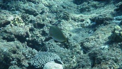 Lined surgeonfish swimming in Ishigaki Island, Okinawa, Japan