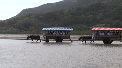 Ox carts carrying tourists in Taketomi Island, Okinawa, Japan