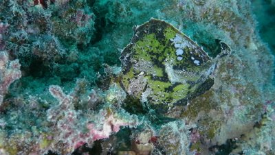 Leaf scorpionfish swimming in Ishigaki Island, Okinawa, Japan