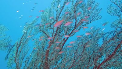 Queen Anthias swimming in Taketomi Island, Okinawa, Japan