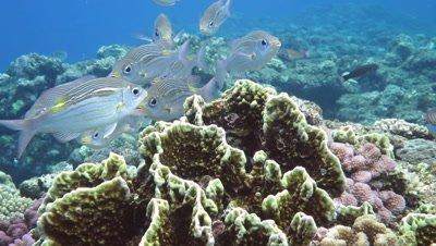 Striped large eye breams swimming in Kuroshima Island, Okinawa, Japan