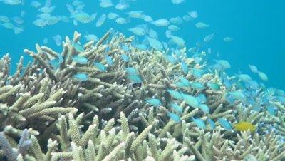 Blue green chromis swimming in Kohamajima Island, Okinawa, Japan