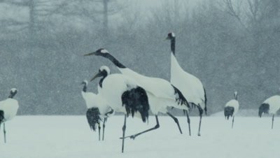 Red crowned cranes with snow in Japan